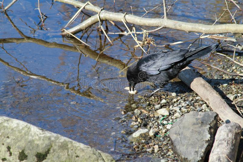 Black crow on the edge of a lake stock image