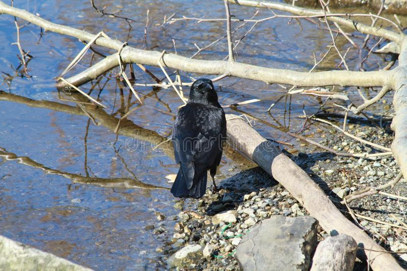 Black crow on the edge of a lake stock photo