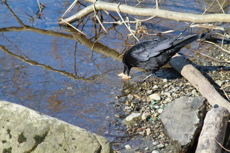 Black crow on the edge of a lake stock photography