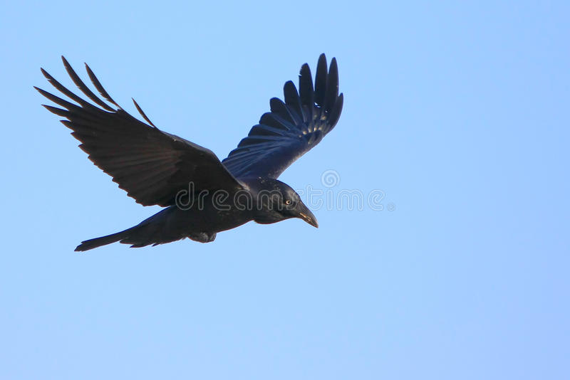Download Black Crow In Flight With Spread Wings Stock Image - Image of animal, pest: 13691521