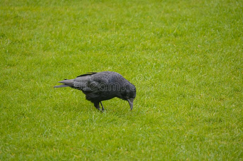 Black crow on the grass stock photography