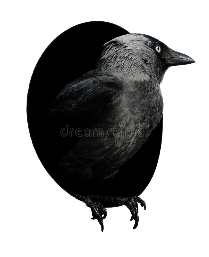 Black crow in a hole royalty free stock photo