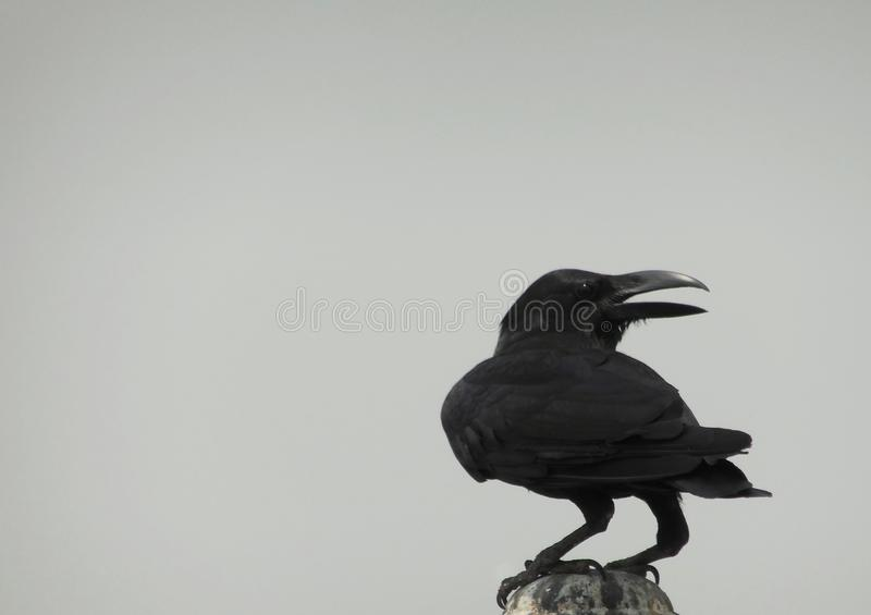 Black Crow raven sitting on top of a pole on a cloudy day royalty free stock images