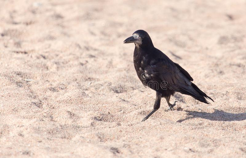 Black crow on the sand royalty free stock photo