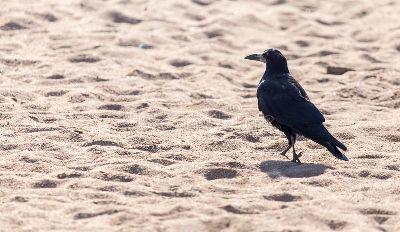 Black crow on the sand stock images