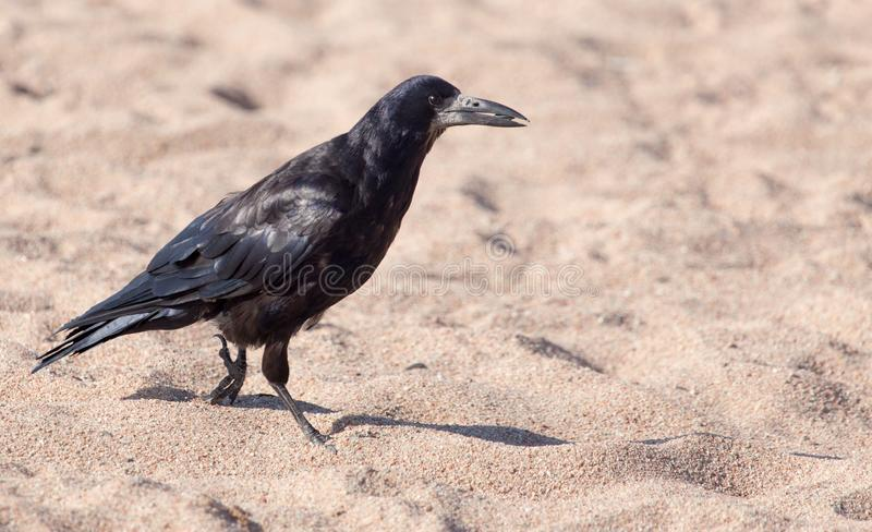 Black crow on the sand royalty free stock images