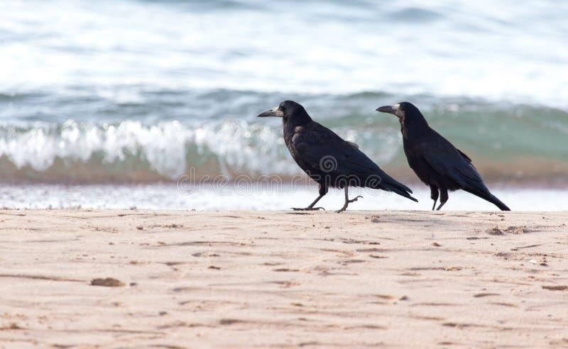 Black crow on the sand stock photos