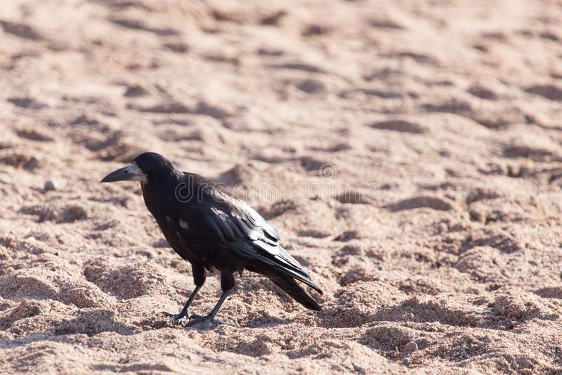 Black crow on the sand stock photography