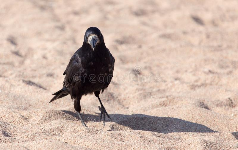 Black crow on the sand royalty free stock image