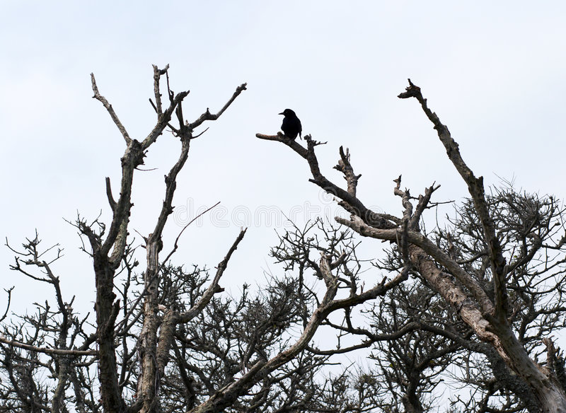 Black crow on the top of a tree royalty free stock photos