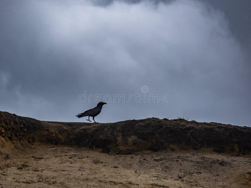 Black Crow Walking along on a sand burm of a Beach royalty free stock photo