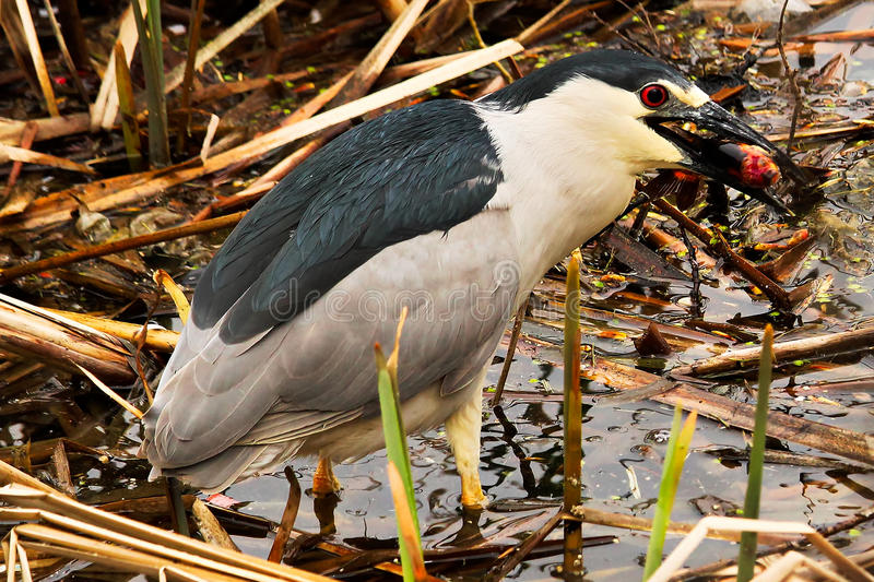 A Black Crown Night Heron eating a fish stock photos