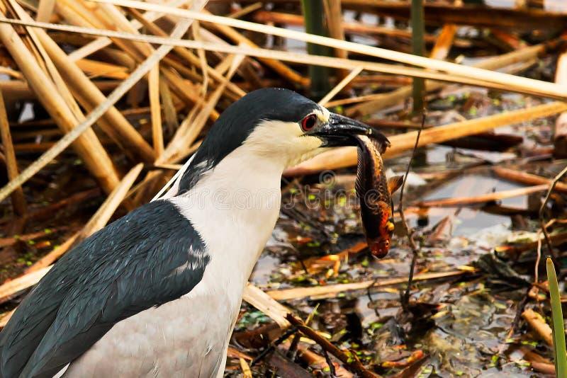 A Black Crown Night Heron eating a goldfish royalty free stock image