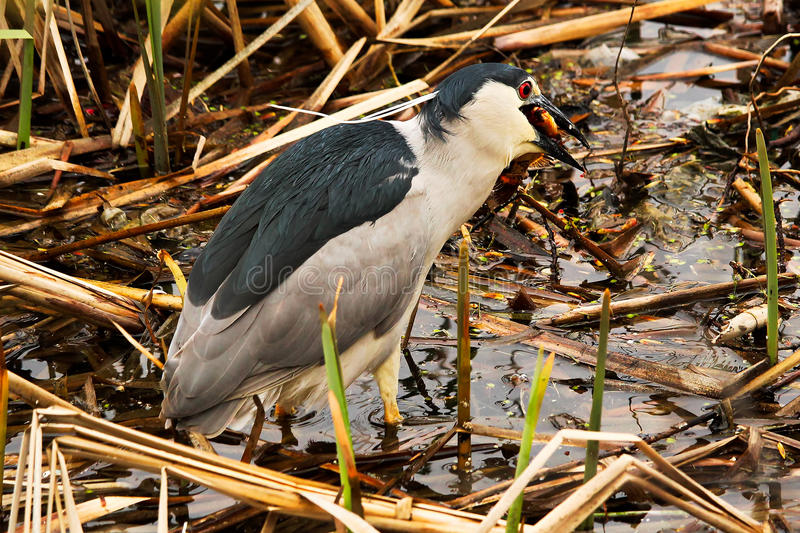 A Black Crown Night Heron eating a goldfish royalty free stock photos