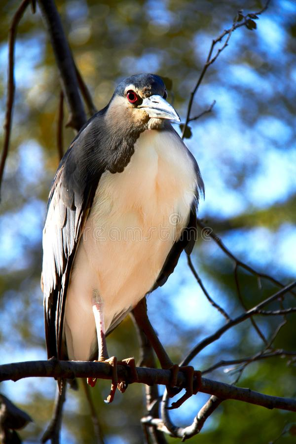 Black crown Night heron sitting on a tree branch against a blue stock image