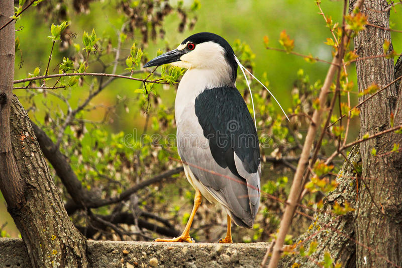 A Black Crown Night Heron standing on a wall with a tree in the background stock image