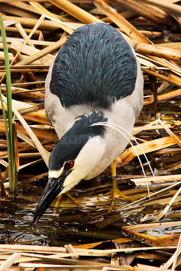 A Black Crown Night Heron taking a drink of water royalty free stock photo