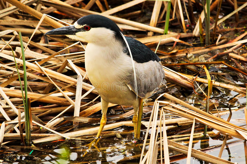 A Black Crown Night Heron walking along dried reeds stock photography