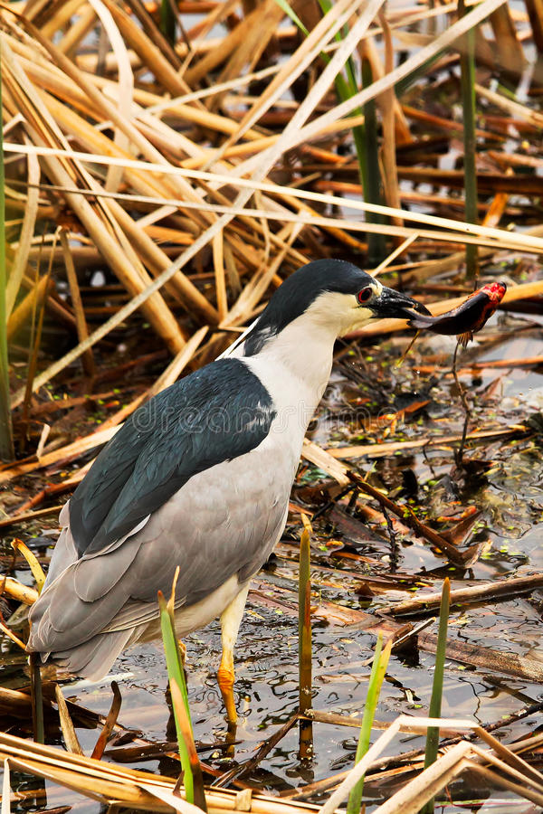 A Black Crown Night Heron walking along dried reeds stock image