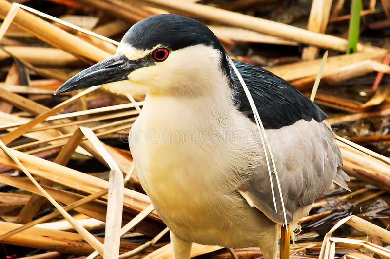 A Black Crown Night Heron walking along dried reeds stock images