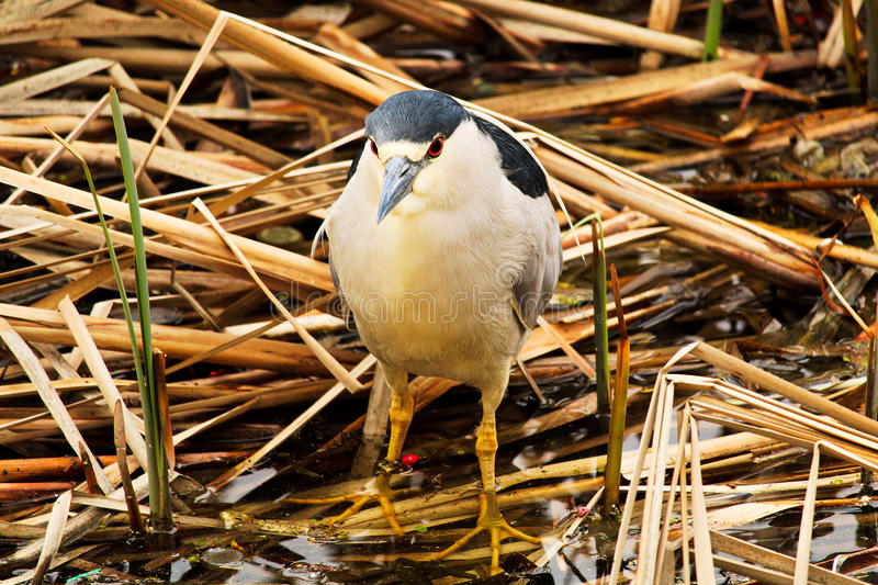 A Black Crown Night Heron walking along dried reeds stock photos