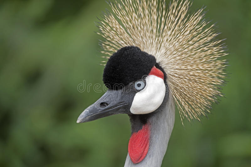 Black-crowned crane, a beautiful bird with plumage stock photography