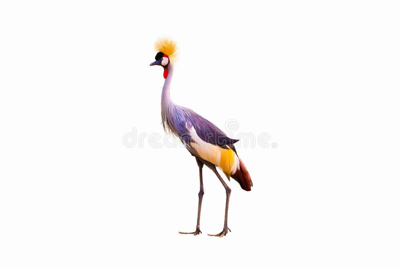 Black Crowned Crane isolated stock images