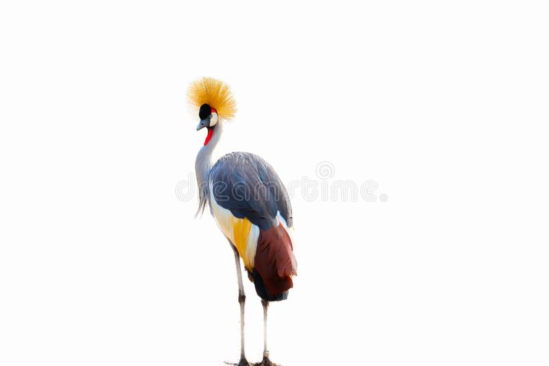 Black Crowned Crane isolated vector illustration