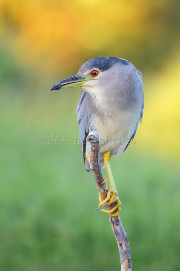 Download Black-crowned Night Heron stock image. Image of cape - 18067441