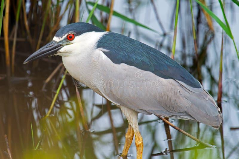 Download Black-crowned Night Heron stock photo. Image of wings - 25320720