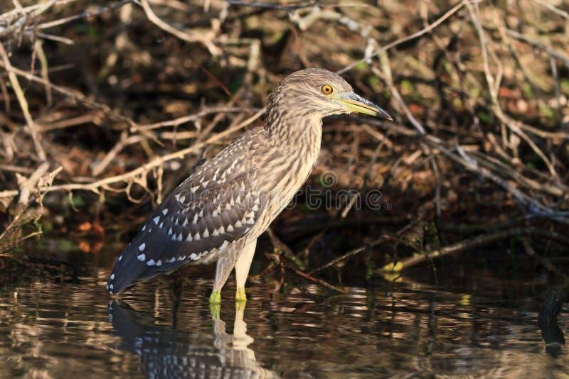 Download Black crowned night heron stock photo. Image of animal - 26595924