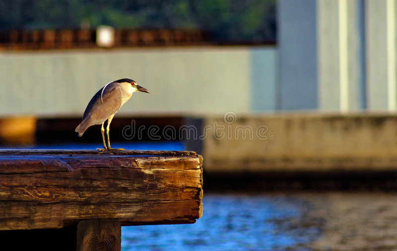 Download Black Crowned Night Heron stock photo. Image of hunt, brown - 3250886
