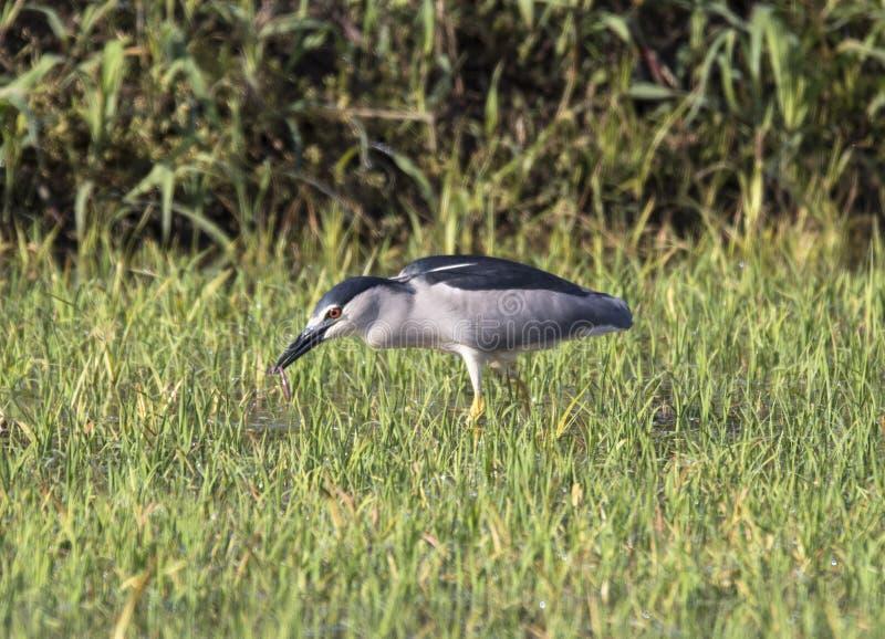 Black crowned night heron stock image