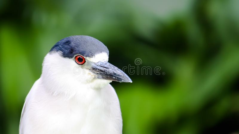 Heron Black-crowned night heron bird Nycticorax nycticorax head portrait. Bird withwhite black plumage bright red eyes. Heron common or Black-crowned night heron stock images