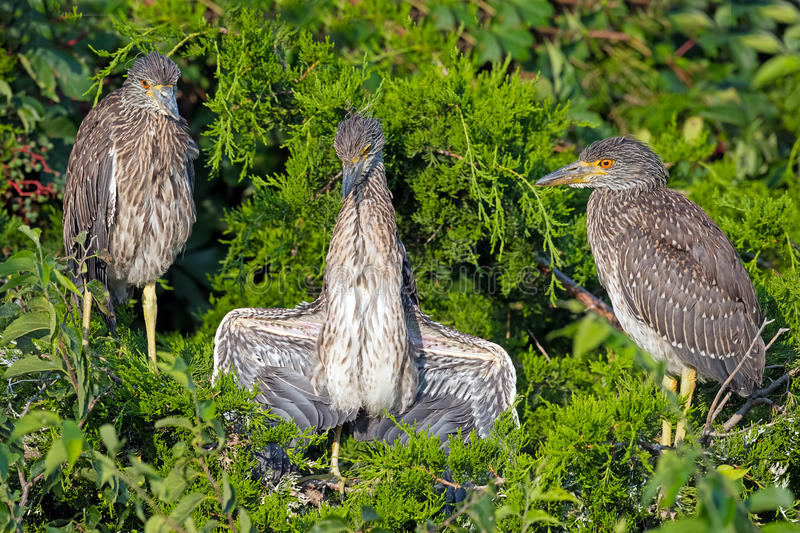 Black-crowned Night Heron Chicks. Having an argument stock image