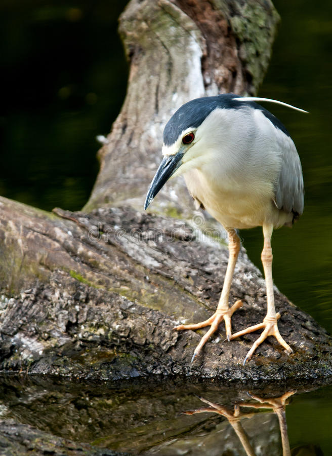 Black-crowned night heron. A black-crowned night heron, commonly just night heron royalty free stock photography