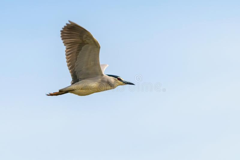 Black Crowned Night Heron in Fight Blue Sky Nycticorax nycticorax. Wildlife Birds stock image