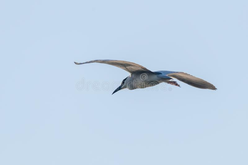Black Crowned Night Heron in Fight Blue Sky Nycticorax nycticorax. Wildlife stock photo