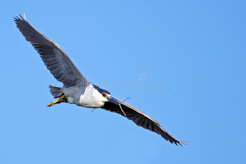 Black-crowned Night Heron. In flight with stick in mouth royalty free stock photography