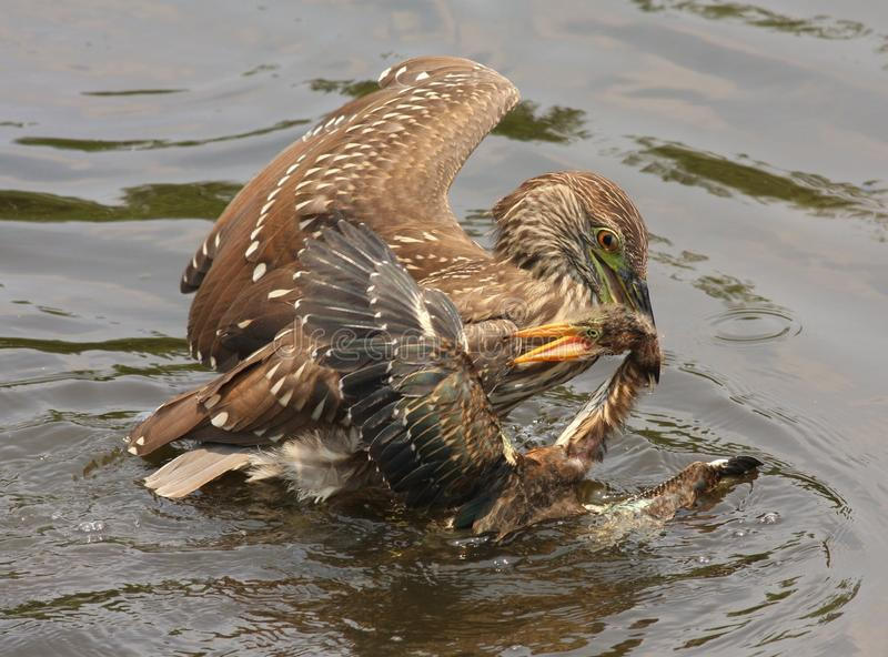 Black-crowned night Heron (juvenile) attacks Green Heron Fledgling!. I watched in amazement as this Black-crowned night Heron juvenile fly in and grab this Green royalty free stock photography