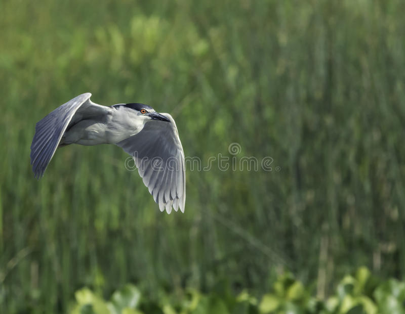 Black-crowned Night-Heron marsh. Adult Black-crowned Night-Heron flying over New England wetlands stock photography