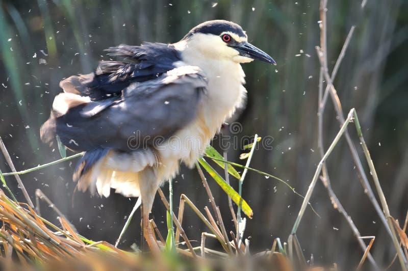 Black-crowned night heron Nycticorax nycticorax, or black-capped night heron, commonly shortened to just night heron in Eurasia.  stock photos
