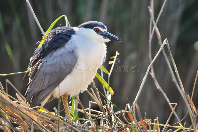 Black-crowned night heron Nycticorax nycticorax, or black-capped night heron, commonly shortened to just night heron in Eurasia.  stock images