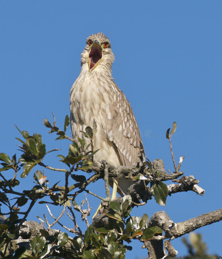 Download Black-crowned Night Heron, Nycticorax Nycticorax Stock Photo - Image: 18453578