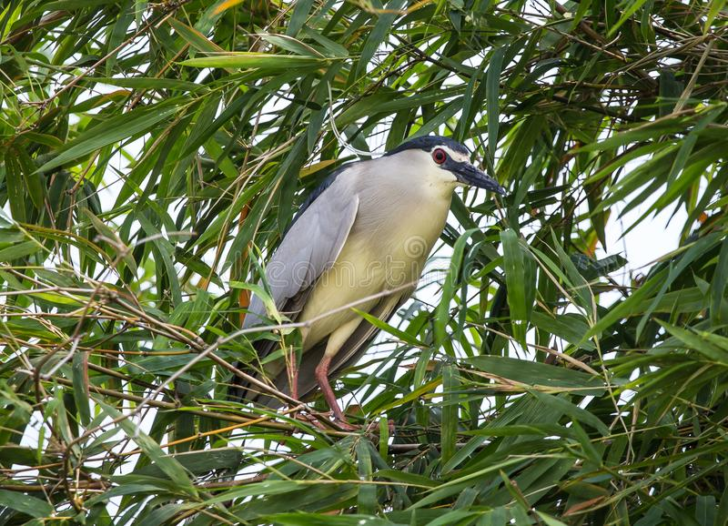 Black-crowned night heron Nycticorax nycticorax on Bamboo Tree. Black-crowned night heron Nycticorax nycticorax on Bamboo Tree of Thailand royalty free stock photo