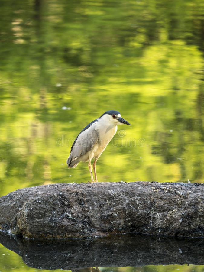 Black-crowned night heron,Nycticorax nycticorax. Commonly shortened to just night heron stock photography