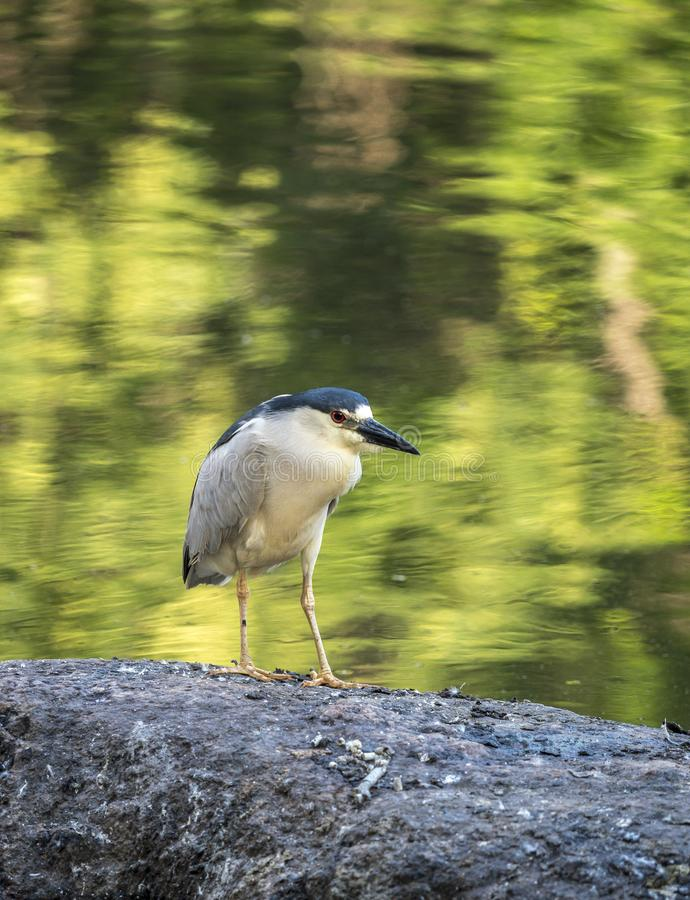 Black-crowned night heron,Nycticorax nycticorax. Commonly shortened to just night heron royalty free stock photo