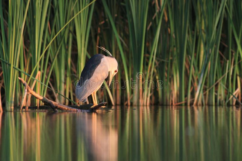 Black-crowned Night Heron, Nycticorax nycticorax. With the fish, carp, catch, haul stock photo