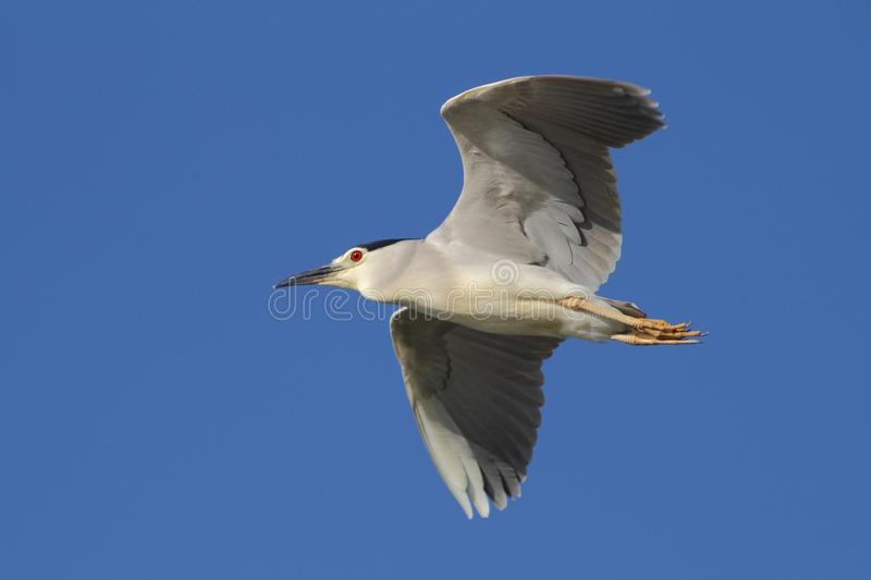 Black-crowned Night Heron, Nycticorax nycticorax. With the fish, carp, catch, haul stock photography