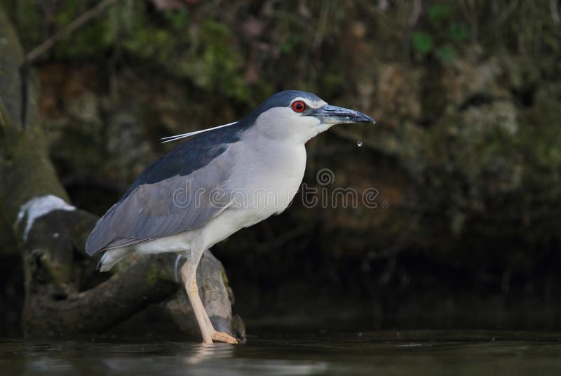 Black-crowned Night Heron, Nycticorax nycticorax hunting and drinking. Black-crowned Night Heron, Nycticorax nycticorax, hunting the fish, carp, catch, haul and stock image